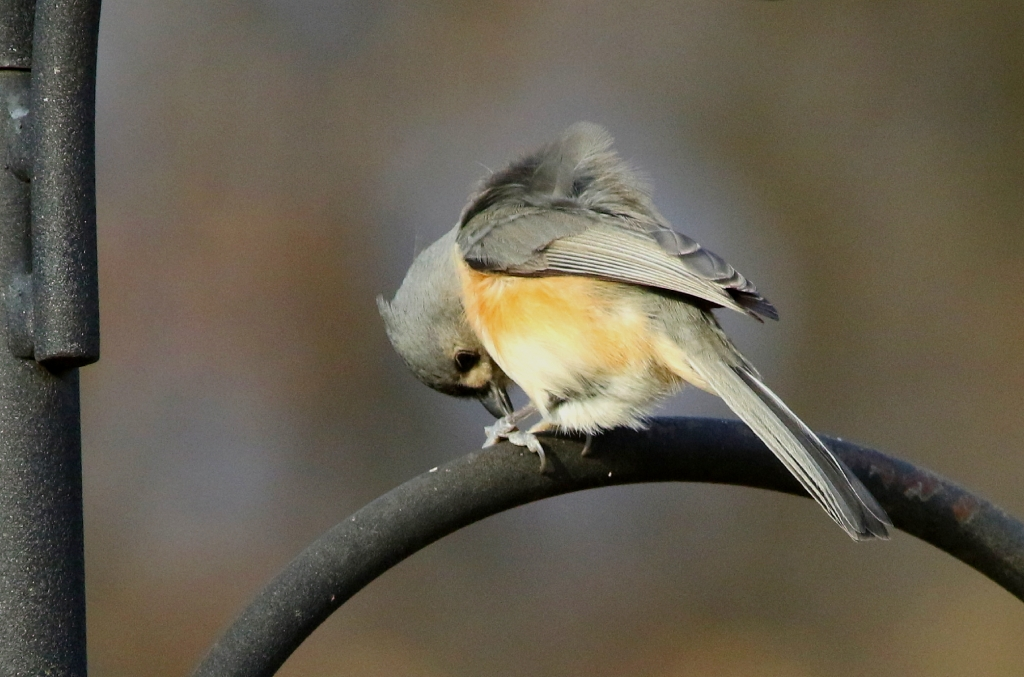 If tufted titmice are coming to a feeder, it's likely there are chickadees, nuthatches and downy woodpeckers there, too. They form mixed-...